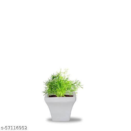 VJH Asparagus Plant with Fiber Pot (Gett 4)