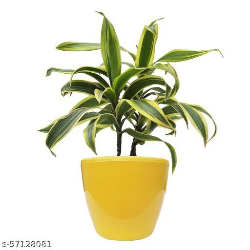 HN Organics Dracaena Reflexa Air Purifying Plant withYellow  Pot