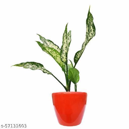 HN Organics Aglaonema Evergreen Plant withTerracotta Pot