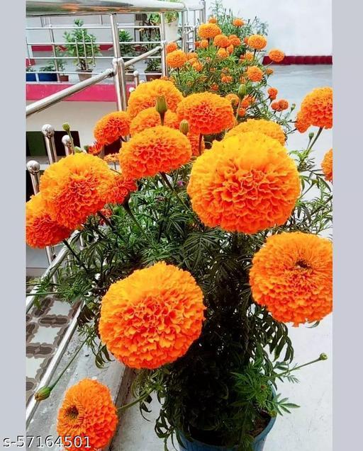 Genda Plant / Marigold Flower Plant With black Pot