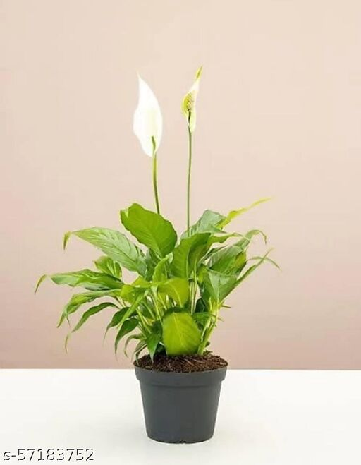 Llly Plants / Peace Lily Flower Plant / Live Lily Plant Wity pot