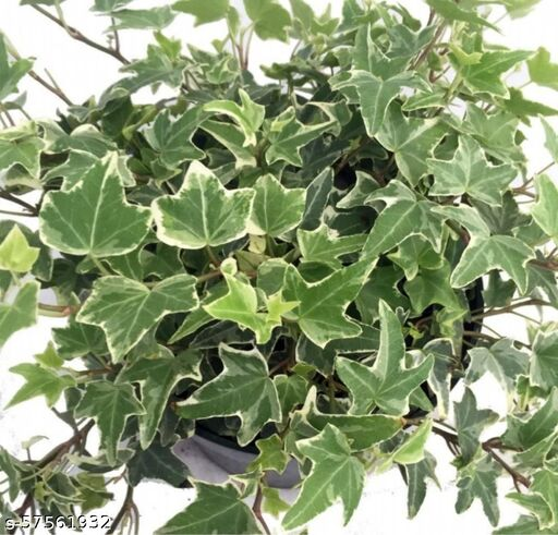 Live Ivy Plant / English ivy Plant / Best Hanging Plants For Home