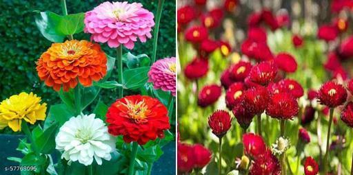 ZINNIA LILLIPUT MIXED FLOWER & Bellis flower seeds (20 seeds per packet) combo pack of 2 flowers