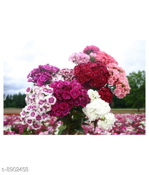 Sweet William Pink Dianthus Barbatus Winter Flower Seeds with Coco Peat Seed Starter