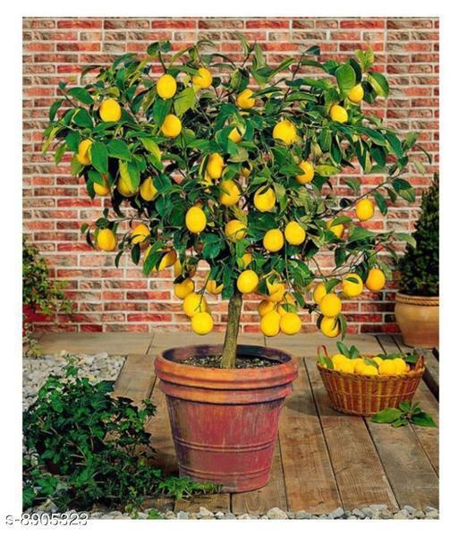 Meyer Lemon Fruit 10 Seeds Citrus Tree Seeds Good germination Seeds