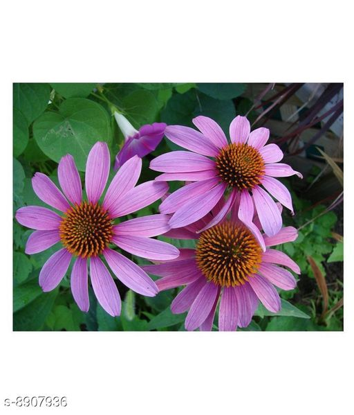 LuxeJoie Purple Daisy Winter Flower Seeds with Coco Peat Seed Starter