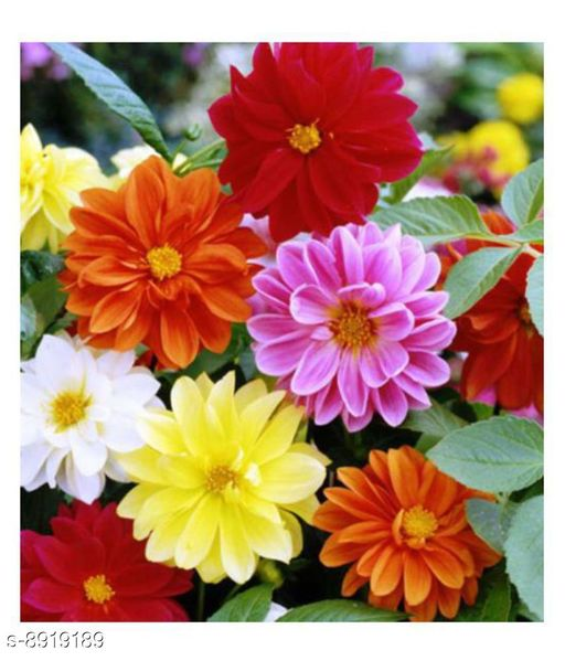 Mix Dahlia Winter Flower Seeds with Coco Peat Seed Starter
