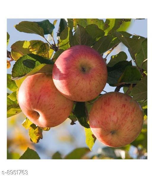 Exotic Dwarf Apple Fruit Seeds 'Winesap Apple' 10 Growing Seeds