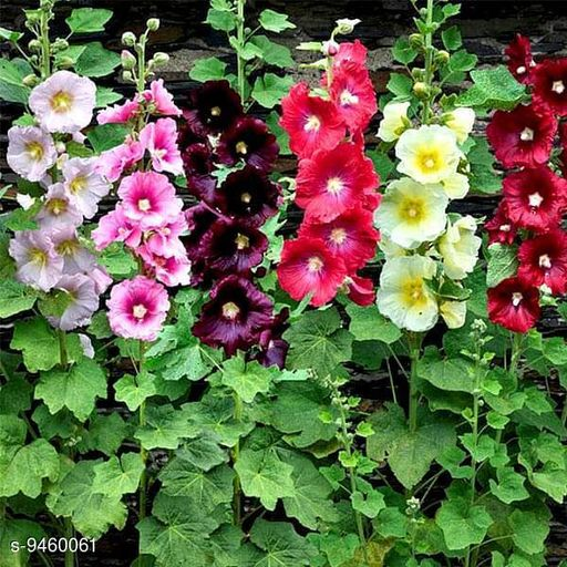 Hollyhock Mixed Flowers Organic Seeds by Indiaca or Florina - 1 Pkt